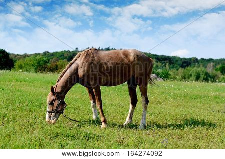 Brown horse feeding on a summer greenfield. Rustic scene background