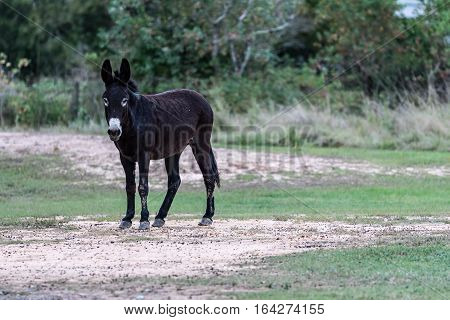 Dirty mule standing in the dirt in a pasture.