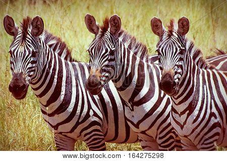 Zebras in Serengeti national park. Africa. Tanzania.