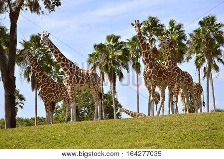 A group of Giraffe Latin name Giraffa camelopardalis