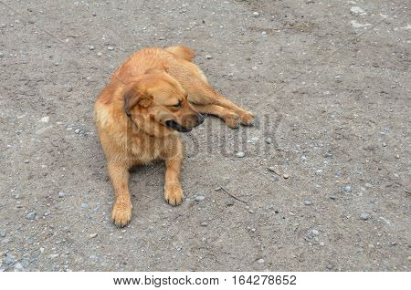 red dog lying on the ground, Thai dog lying on ground