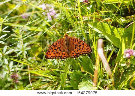 A fritillary butterfly , Argynnis paphia, sitting on a wildflower in a meadow
