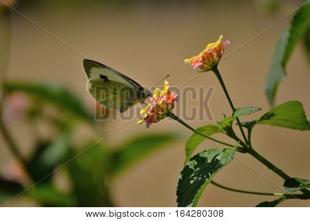 cabbage butterfly is busy in getting nector