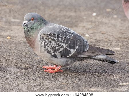 Pigeon perched on a paved black top road.