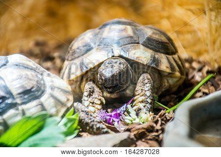 Turtle Testudo Marginata the european landturtle eating 5