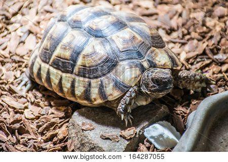 Turtle Testudo Marginata the european landturtle eating 7
