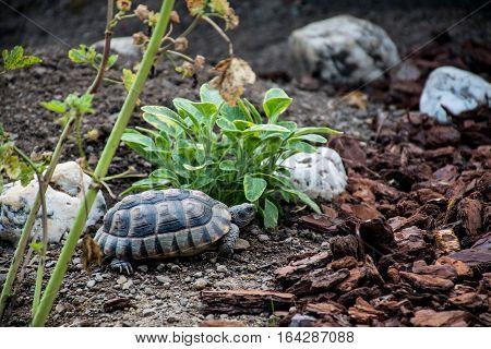 Turtle Testudo Marginata the european landturtle eating 11