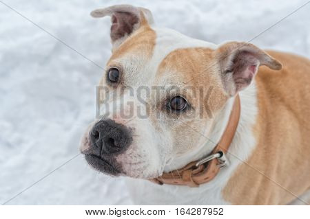 Portrait of beautifull staffordshire bull terrier on a snow