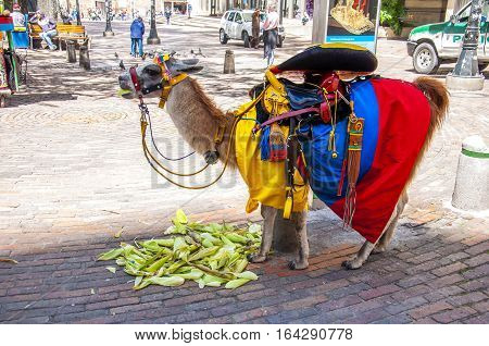 Bogota, Colombia - December 11, 2016: A llama decorated with the flag of Colombia is being eaten in front of the gold museum.