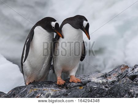 Two Gentoo Penguins on the rock in Antarctica