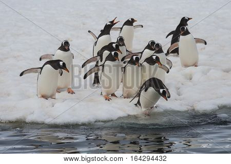 Gentoo Penguins on the ice in Antarctica