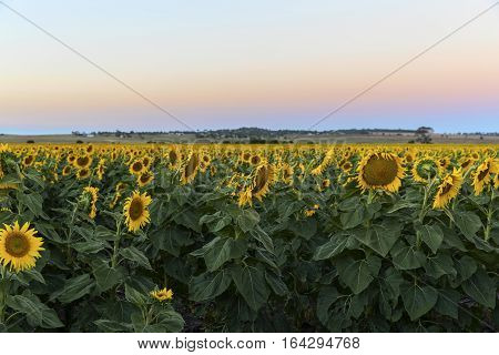 Large sunflower field at sunset, in outback Australia