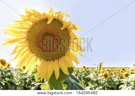 Close up of sunflower and filed on a sunny day, in outback Australia