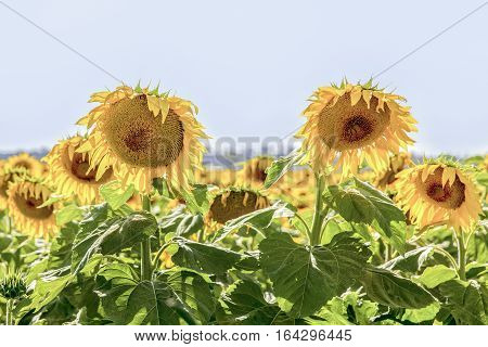 Close up of sunflowers basking in a field on a sunny day, in outback Australia