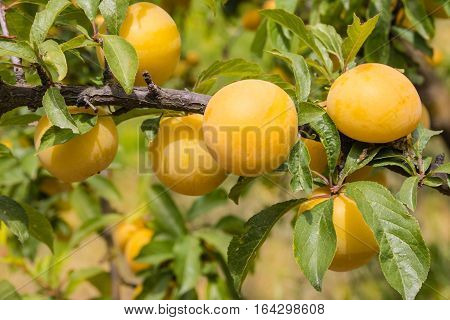 isolated yellow plums ripening on tree in plum orchard