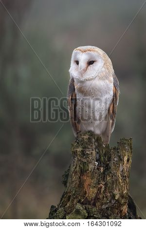 An alert looking female barn owl perched on an old tree stump in upright vertical format