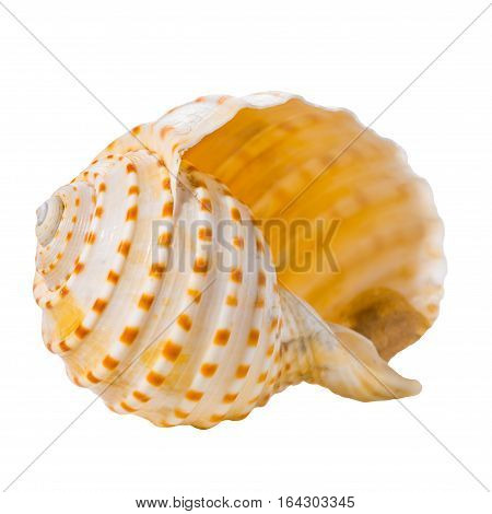 Cockleshell Is Isolated On White Background, Close Up