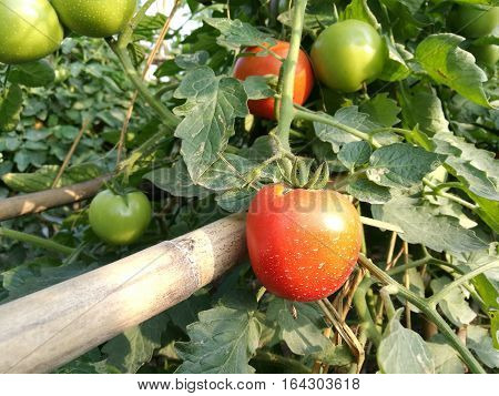 Ripe natural tomatoes growing on a branch in a green organic garden field
