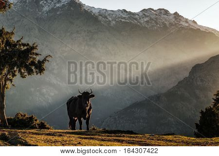 A black cow with large horns stands alone looking towards the camera in the snow capped mountains of Corsica with a late afternoon shaft of light behind