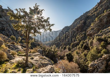 Winter sun filtering through a small tree on a rocky trail in the mountains of the Balagne region of Corsica near Mausoleo in the Tartegine valley with blue sky above