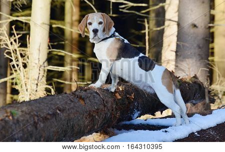 Portrait of nice beagle in a winter forest Southern Bohemia Czech Republic