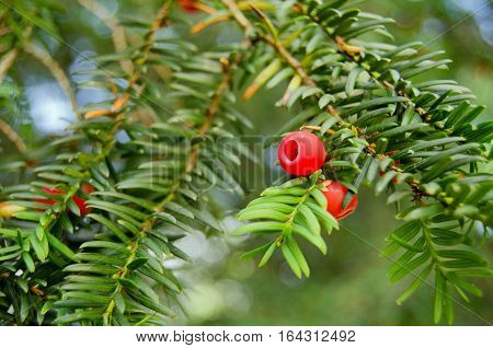 A close up view of the red berries on an English Yew tree latin name taxus baccata in the sunshine in September.
