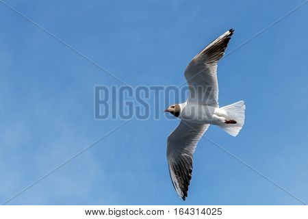 Wingspan of seagull in rapid flight on background of clear sky