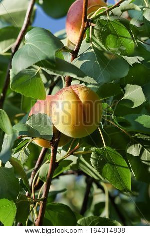 Apricot ordinary (lat. Prunus armeniaca) is a fruit tree, a species from the section Apricot (Armeniaca) Plum genus (Prunus) of the Rose family (Rosaceae).