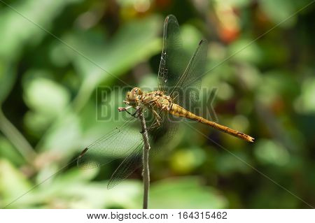Yellow dragonfly (Sympetrum flaveolum) with blood-sucking larvae of ticks-ticks (Trombidiidae, Erythraeidae)