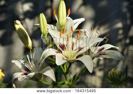 Beautiful Flower Lily 'Centerfold