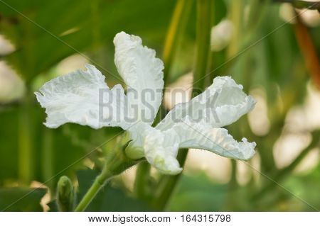 White flower lagenaria (lat. Lagenaria), vines of the gourd family (lat. Cucurbitaceae)