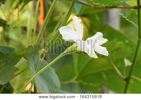 Flower lagenaria (lat. Lagenaria), vines of the gourd family (lat. Cucurbitaceae)