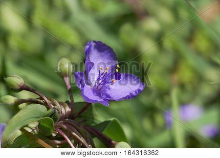 Lilac flowers and buds, of a virgin spiderwort (Tradescantia virginiana)