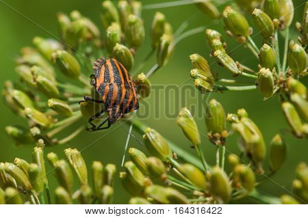 Stink bug bar or Graphosoma striped (lat: Graphosoma lineatum) is a bug from the family Real shchitnik on the umbrellas of dill