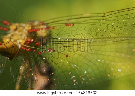The wings of a dragonfly with blood-sucking larvae of ticks-ticks (lat. Trombidiidae Erythraeidae)