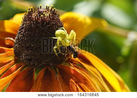 the spider backed on flower of rudbeckia