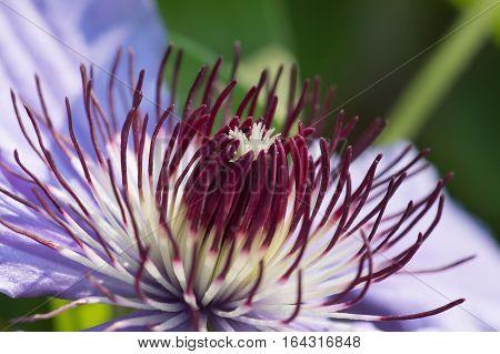 Lilac flower climbing plant Clematis General Sikorski