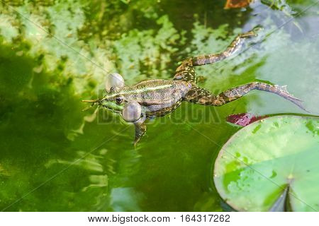 Croaking, the male marsh frog (Pelophylax ridibundus) in water