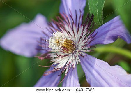 Lilac flower climbing plant Clematis General Sikorski closeup