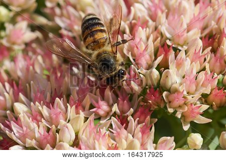 The bee (lat. Anthophila) on the flowers of Sedum prominent (lat. Hylotelephium spectabile, Sedum spectabile otherwise)