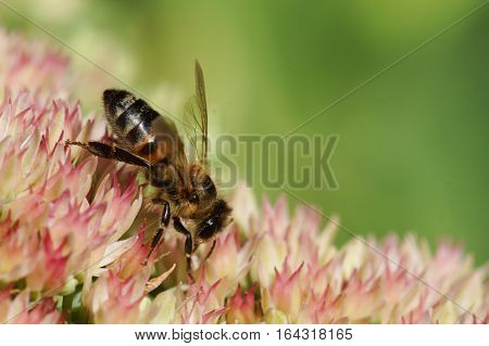 The bee (lat. Anthophila) collects nectar on the flowers of Sedum prominent (lat. Hylotelephium spectabile, Sedum spectabile otherwise)