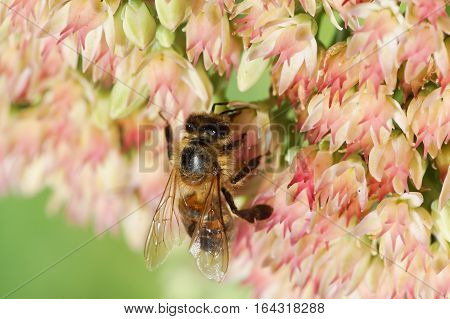The bee (lat. Anthophila) collects nectar from flowers of Sedum prominent (lat. Hylotelephium spectabile, Sedum spectabile otherwise)
