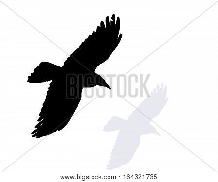 flying crow, isolated on the white background