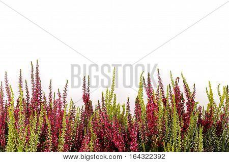 Pink and white heather (Calluna vulgaris) on white background