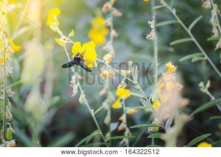 Photo closeup of a bumble bee sucking nectar pollen Crotalaria golden blur the image. With dyed light like sunlight