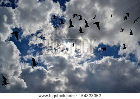 Flock of birds silhouettes flying in the sky