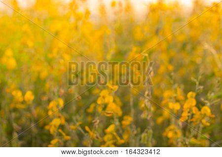Blur of flowers Crotalaria spectacular golden light like stained with sunlight.
