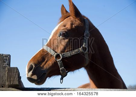 Purebred warmblood stallion looking over fence on a cold winter day