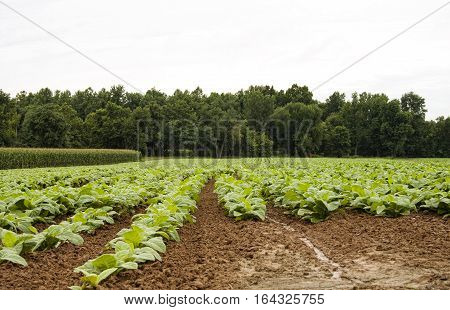 Horizontal image of young tobacco plants. Views like this are not as common as they once were, but tobacco is still an important Kentucky crop.