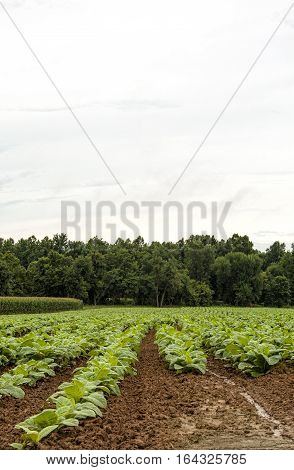 Vertical image of young tobacco plants and adjacent corn and woods. Copyspace in sky.